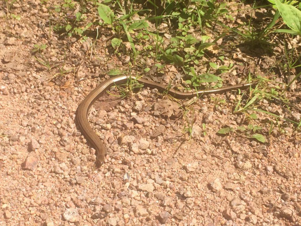 Eine Schlange auf dem Schwarzwälder Wasserpfad.