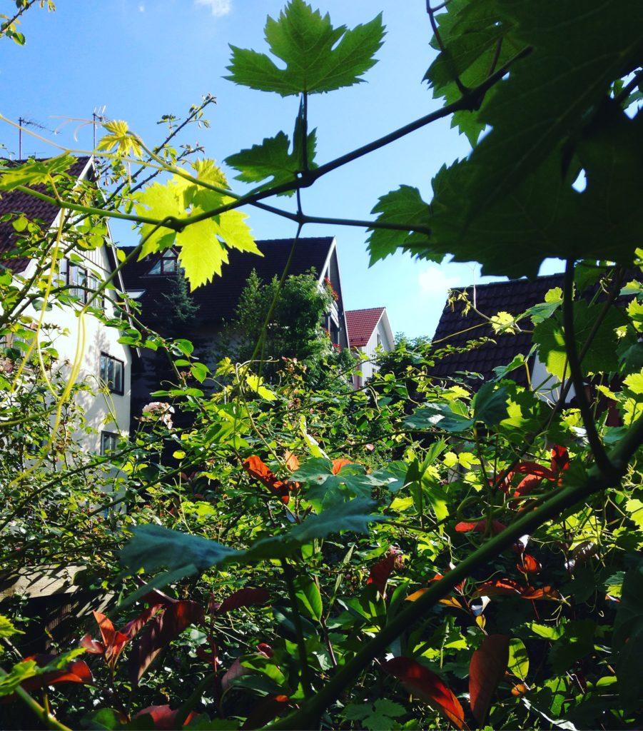 Weinreben im Garten des Gerberhauses