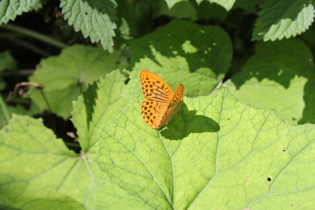 Wunderschöne große Schmetterlinge...