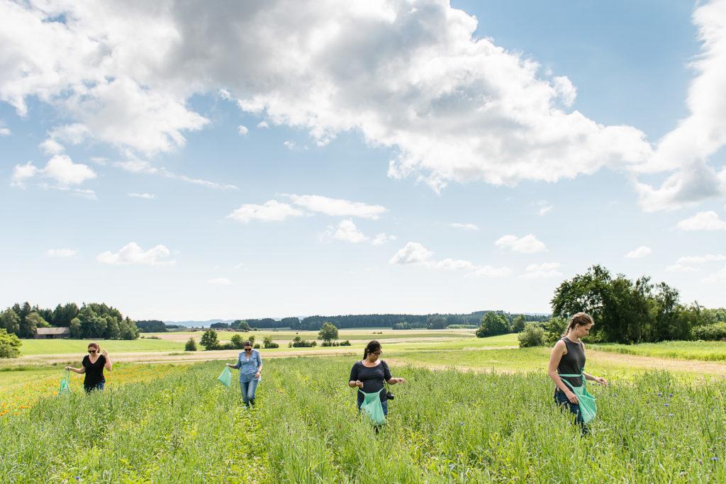 Bloggerinnen bei der Kornblumenernte Foto: SONNENTOR